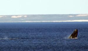 ballenas en doradillo